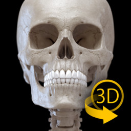 Скачать Скелет | 3D Анатомии